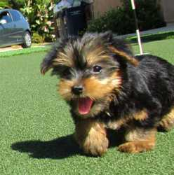 Perfect Tiny Teacup Yorkie puppies for adoption