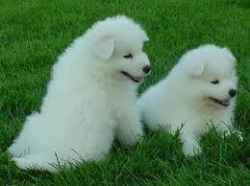 Beautiful Samoyed puppies for sale