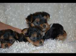 **Good looking Yorkie puppies for adoption*