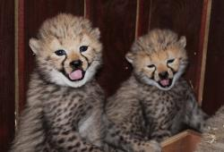 tamed and adorable cheetah cubs