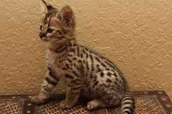 F2 Savannah Kittens Available For adoption
