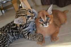 Ocelot and Caracal Kittens