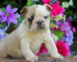 Our puppy is a wrinkly and easy going English Bulldog puppy