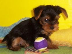 Darling Yorkie Puppies! Male/Female