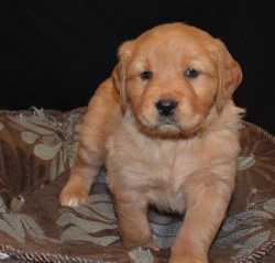 adorable new year golden retriever puppies for re homing