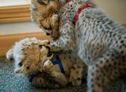 Cheetahs, White & Siberian tigers and lion cubs for sale