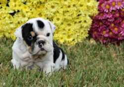 Healthy and brave English Bulldog puippies for Re-Homing