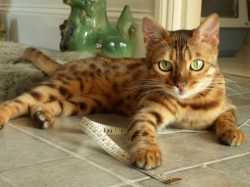 Well Tamed TICA Registered Bengal For Sale