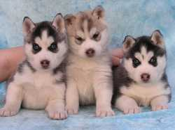 Siberian Husky puppies for adoption ...