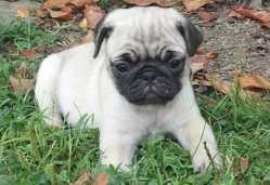 Admirable Fawn Female and Black Male Pug Puppies Ready