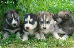 Registered Siberian husky Pups