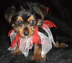 Female Yorkie Puppy Available Now.