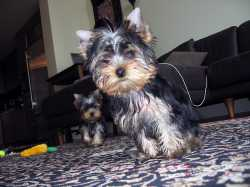 Tea-Cup Yorkie Male and Female For Adoption.
