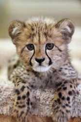 Hand Tamed TICA Registered Cheetah Cubs For Sale
