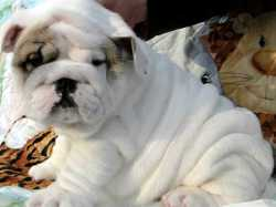 English Bulldog Puppies for Re homing textw(207) 619-3416