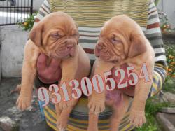 FRENCH MASTIFF puppies for sale at  attractive price.