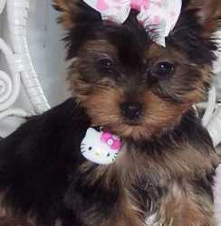T cup size yorkie female puppies