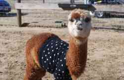 Free alpaca sweater