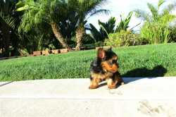 We have two Yorkie Puppies to give this X mas for a good home