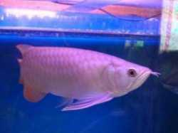 arowana fishes for sale text us at (505)386-2742