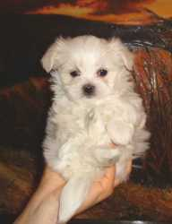loving teacup maltese puppies for rehoming now