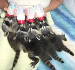 Adorable baby raccoons for rehoming