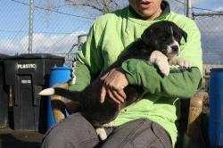 Border Collie puppies For Free Adoptions