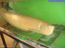 Arowana fishes  for sale NOW TEXT US(256) 568-0320