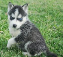 Purebred Siberian Husky Puppies To Any Home Available!