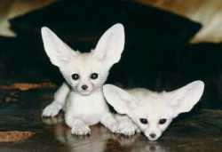 Sweet Fennec Fox babies available