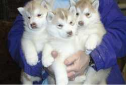 Charming Healthy Blue Eyes Siberian Husky Puppies Available