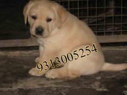 Labrador Retriever, Golden Retriever  Puppies are available for Sale at PODDAR KENNEL.