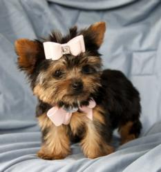 adorable tea cup yorkie puppies ready for a new home