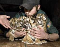 Cheetah ,Leopard, tiger cubs for sale now