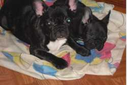 Absolutely Charming French bulldog Puppies for adoption.(Frenchie)
