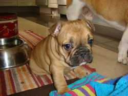 Outstanding Female French Bulldog Puppy