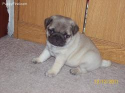 Gogeous Pug Puppies for sale.