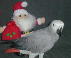 african grey parrot f