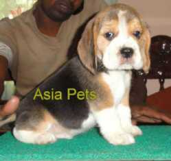 Beagle Puppy For Sale - 9555944924