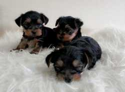 Submitting Yorkshire Terrier Puppies Available For Re-homing