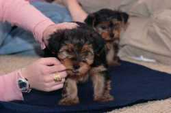 100% Full Breed Yorkie Puppies (  425-292-8605  )