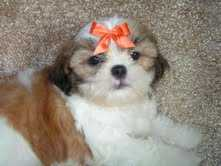 sweet shih tzu puppy