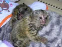 cute baby marmoset monkeys ready for reoming