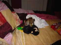 ADORABLE MALE AND FEMALE BABY CAPUCHIN MONKEYS AVAILABLE.TEXT(613) 917-7198
