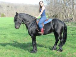 cute black fresian horse available