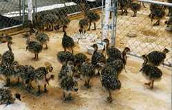 ostrich chicks and parrots for sale