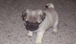 Top Quality Pug Puppies for Adoption.