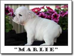 CUTE AND ADORABLE ENGLISH BULLDOG PUPPIES FOR ADOPTION . CALL OR TEXT NOW   (8018457512)