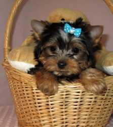 Black & Tan Yorkshire Terrier Puppies Available