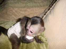 Baby Capuchin monkeys available for adoption.
